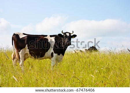 black cow in the meadow - stock photo
