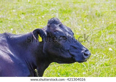 Black cow with a yellow ear tag - stock photo