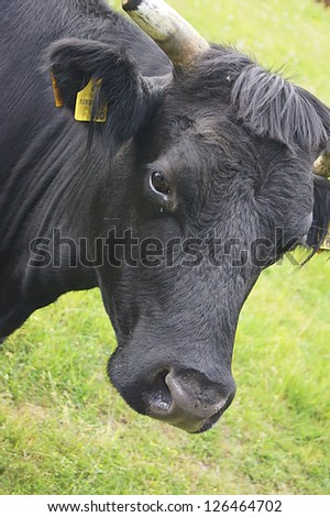 Black cow with horns on pasture