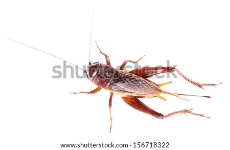 black cricket isolated on white background