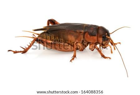 black cricket isolated on white background - stock photo