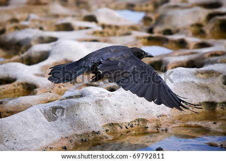 Black crow flying low over rocky terrain.