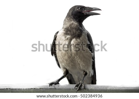 black crow on a white background in profile