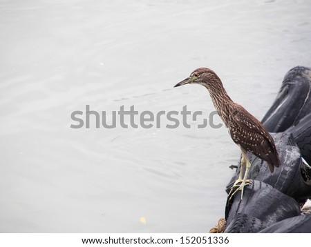 Black-crowned Night Heron at riverside - stock photo