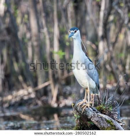 Black-crowned Night Heron Fishing - stock photo