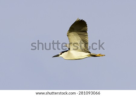 black-crowned night heron in flight / Nycticorax nycticorax - stock photo