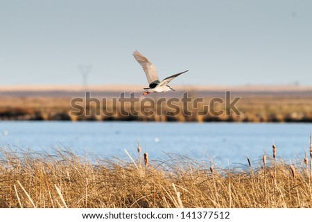 Black-crowned Night-Heron in flight over a prairie lake - stock photo