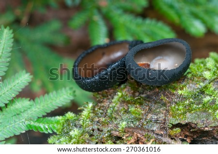 Black Cup Fungi  on wood, in rain forest Thailand, soft focus, shallow depth of field - stock photo