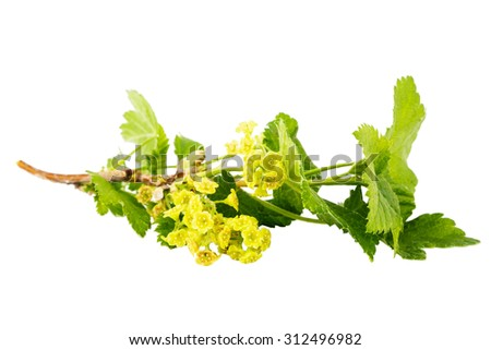 Black currant branch with blossoms isolated on white background - stock photo