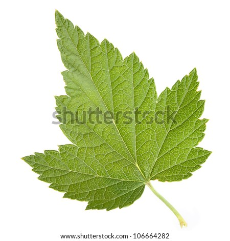 Black currant leaf closeup isolated on white