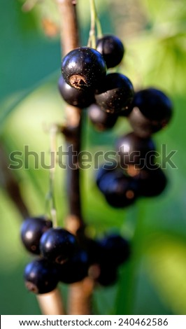 Black currant, ripe berries on a branch - stock photo