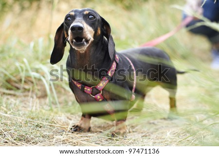 Black Dachshund dog barking in the park - stock photo