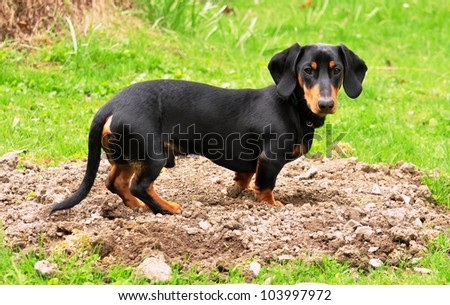 Black dachshund gardener - stock photo