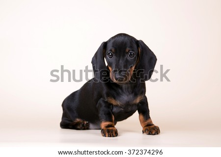 Black dachshund puppy on a beige background