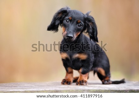 black dachshund puppy portrait outdoors - stock photo