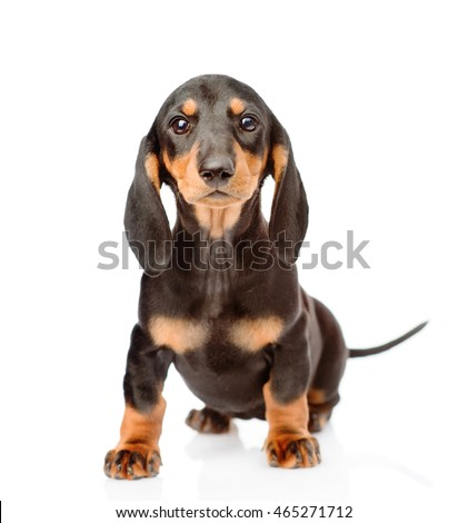 Black dachshund puppy sitting in front view. isolated on white background