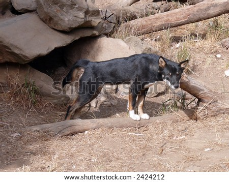 black dingo - stock photo