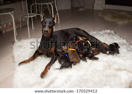 Black Doberman dog with puppies indoors - stock photo