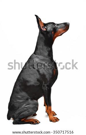 Black doberman on the white background - stock photo