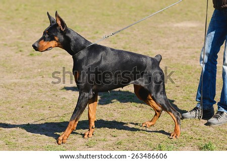 Black Doberman Pinscher with owner in dog school - stock photo