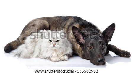 black dog and persian lying together cat. looking at camera. isolated on white background - stock photo