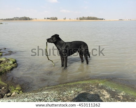 Black dog in green grey dam water, playing with stick in mouth looking into distance