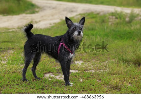 black dog is standing on the green grass