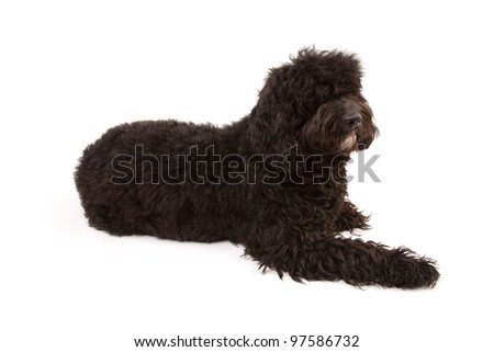 Black dog isolated on white