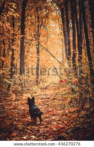 black dog listens in the autumn forest, autumn leaf fall or defoliation, all strewn with yellow leaves - stock photo