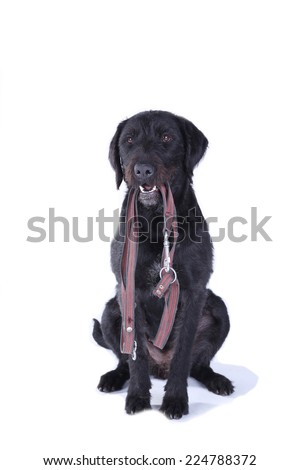 Black dog sitting with a leash in its mouth on white background