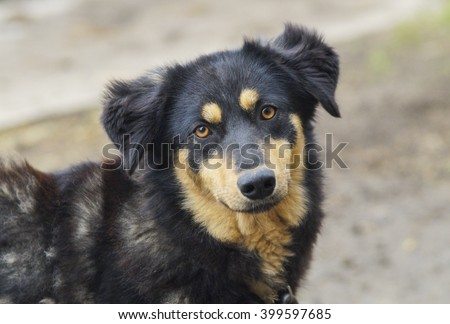 Shaggy Small Brown And Black Dog