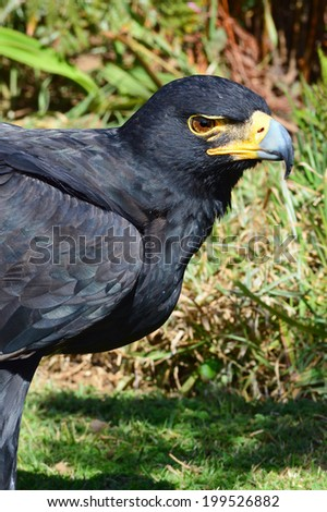 Black Eagle (Verreaux's Eagle) Portrait - stock photo