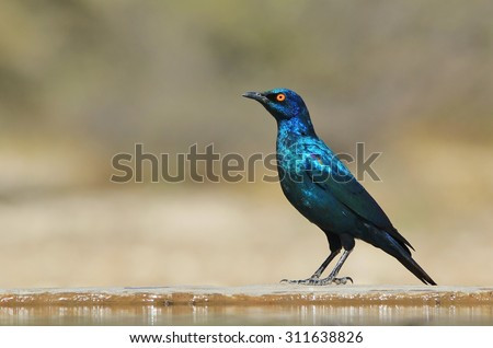 Black-eared Starling - Wild Bird Backgrounds from Africa - Iridescent Blues and Purples - stock photo