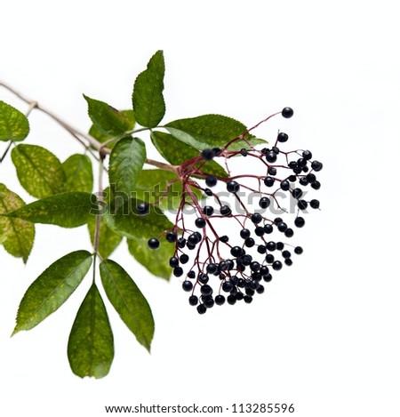Black Elderberry - stock photo