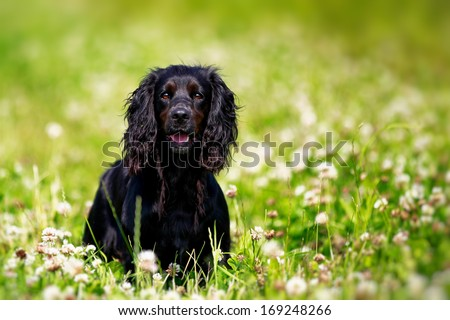 Black english springer spaniel playing in clover field - stock photo