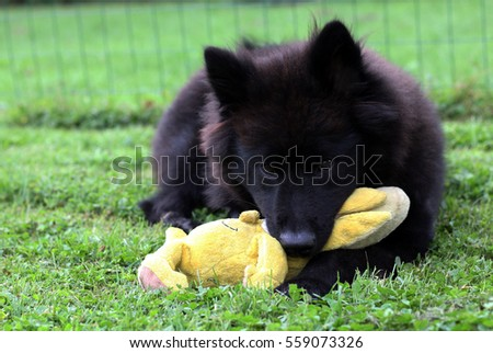 Black Eurasier puppy dog lying on the grass, playing with his toy.