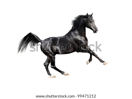 black expressive arab horse isolated on white - stock photo