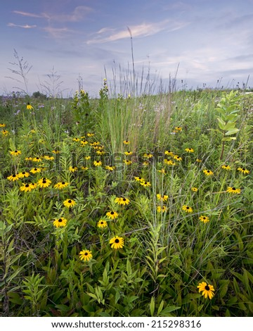 Black-eyed susan bloom in the late summer prairie at Springbrook Prairie Nature Preserve in DuPage County, Illinois. - stock photo