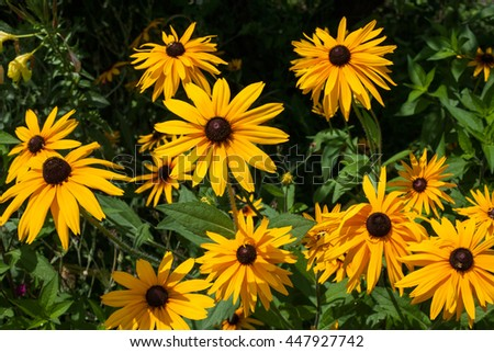 Black eyed susan goldsturm bright yellow stock photo royalty free bright yellow flowers with brown center in the green summer garden mightylinksfo
