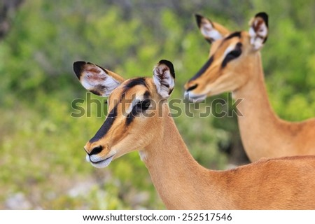 Black-faced Impala - African Wildlife Background - Posing Portraits from Nature - stock photo