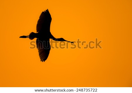 Black-faced Spoonbill in flight with twilight background