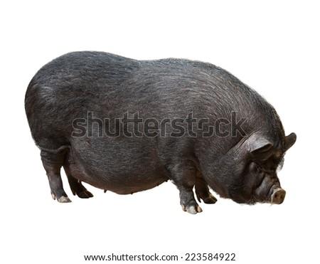 Black farm pig. Isolated over white  - stock photo