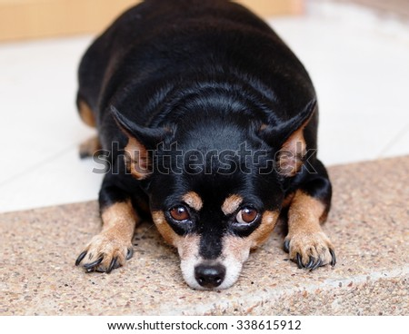black fat lovely miniature pincher dog laying resting on the floor making funny face