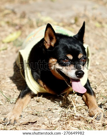 black fat lovely miniature pinscher dog wearing yellow dog shirt laying on thedried grass floor surrounding with home background - stock photo