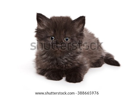 Black fluffy kitten looking at the camera (isolated on white)
