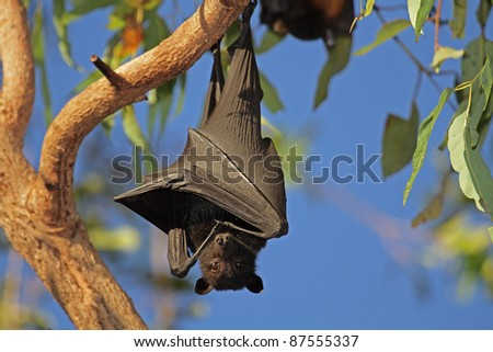 Black flying-fox (Pteropus alecto) hanging in a tree, Kakadu National Park, Northern territory, Australia - stock photo
