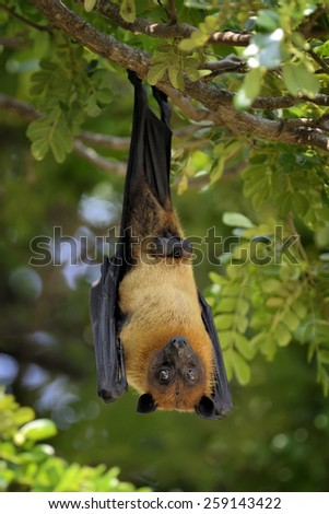 Black flying-foxes (Pteropus alecto) hanging in a tree - stock photo