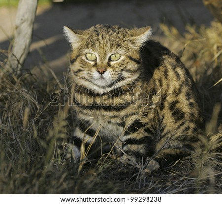 Black footed cat (Felis nigripes)