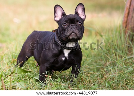 Black French Bulldog in outdoor settings