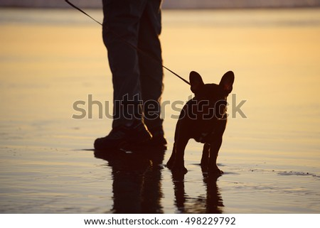 Black French bulldog standing on the wet  beach by his person's feet, waiting to go for a walk